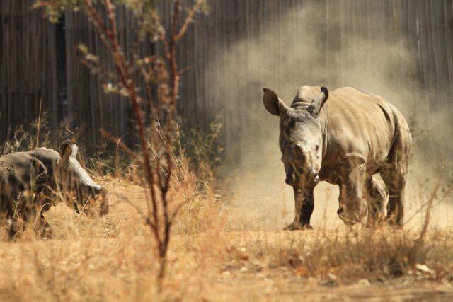 national geographic dia del rinoceronte 2